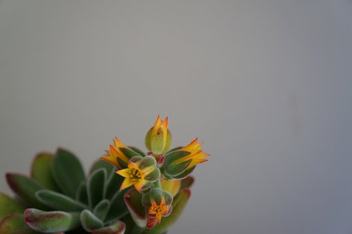 Echeveria Pulvinata 'ruby, Waxflower, Cactus, Echeveria