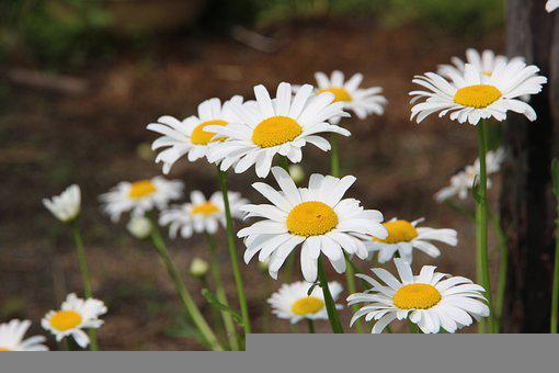 Chamomile, Flowers, White Flowers, Flowers Of The Field