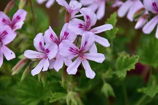 Flowers, Geranium Flowers, Geranium With Single Flowers