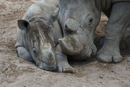 Rhino, Mother, Child, Baby, Snuggle, Togetherness