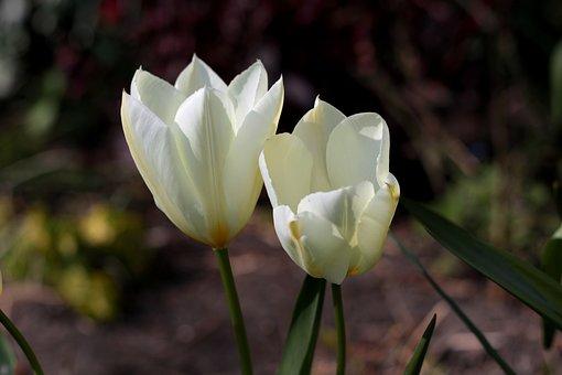 Tulipa Fosteriana Purissima, Tulip, White, Sunlight