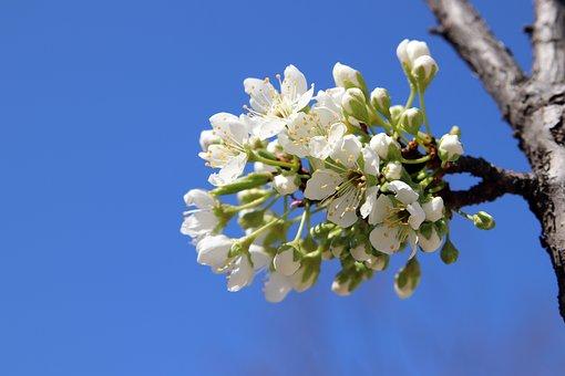 Spring, Flowers, Apple Tree, Nature