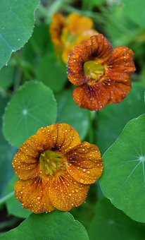 Nasturtiums, Orange Yellow, Summer, Flowers, Garden