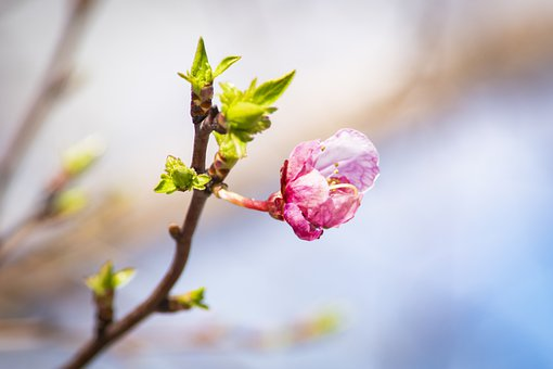 Sakura, Almond, Flowers, Bud, Spring, Flower, Tree