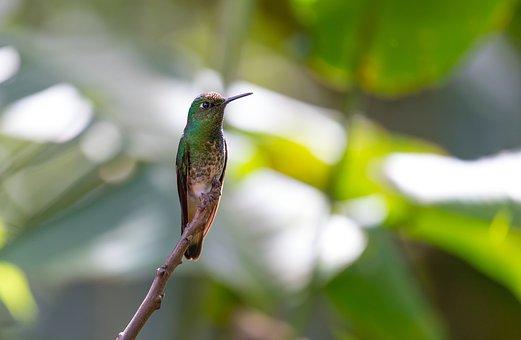 Fahlschwanzkolibri, Hummingbird