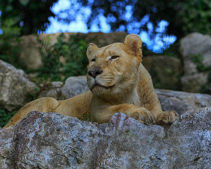 Lion, Lioness, Africa, Nature, Safari, Animal, Feline