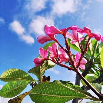 Frangipani, Red, Frangipani Flower, Nature