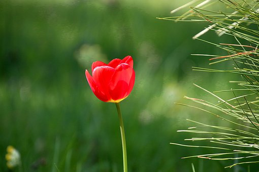 Tulip, Plants, Flowers, Bulbous Plants