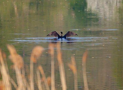 Cormorant, Black Bird, Waterfowl, Lake