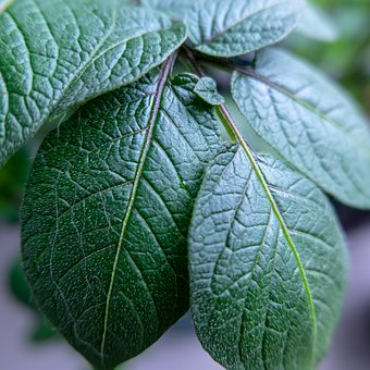 Nature, Outdoor, Gardening, Potato Plant, Green