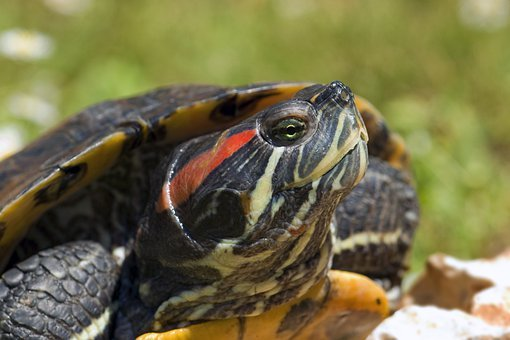 Turtle, Red Ears, Trachemys Scripta, Head, Reptile