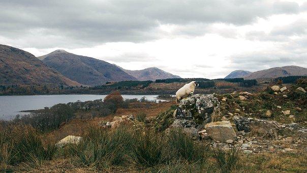 Loch Awe, Scotland, Sheep