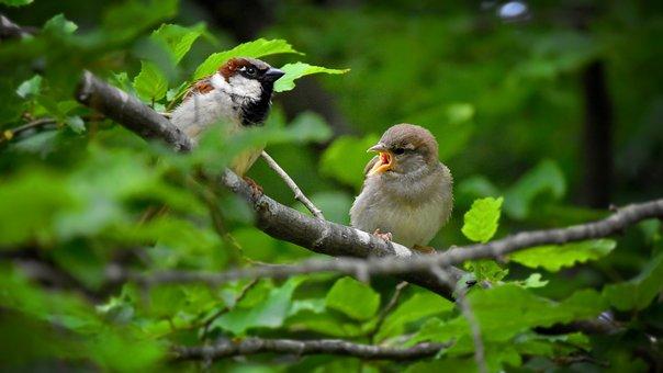 House Sparrow, Bird, Sparrow, Sperling, Sparrows