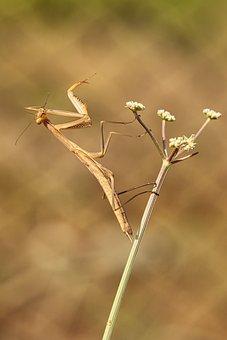 Mantis, Insect, Predator, Nature, Mimetic