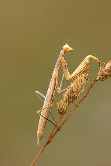 Mantis, Mimetic, Insect, Nature, Predator