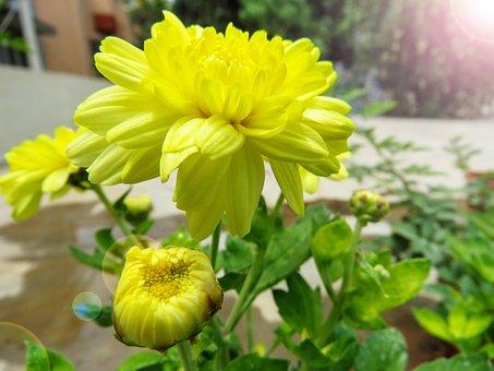 Power Of Yellow, Chamanti, Flower, Nature, Petals