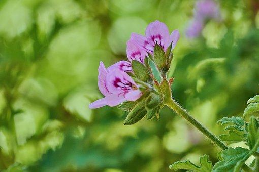 Geranium Lemon, Flowering, Petals, Garden, Floral