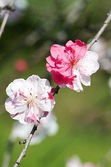 Cherry, Blossoms, Blooms, Flowers, Spring, Sakura, Pink