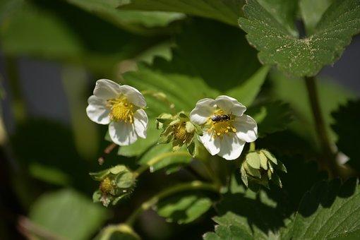 Strawberry, Flowers, White, Green, Garden, Spring