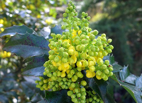 Mahogany, Plant, Spring, Nature, Yellow, Bush, Close Up