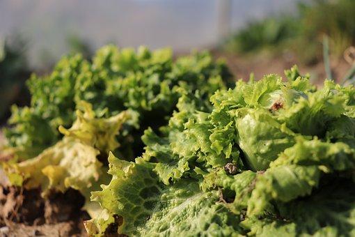 Lettuce, Salad, Garden, Plants, Growing Lettuce