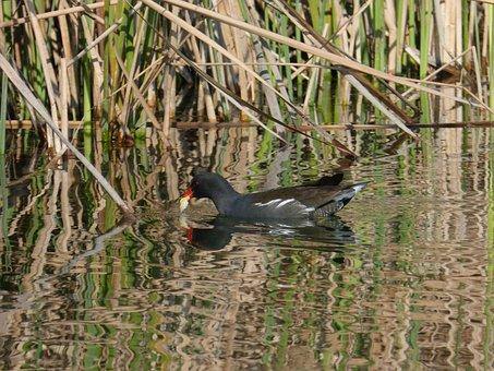 Coot, Water Bird, Wetland, Pond, Juncal, Anátido, Fotja