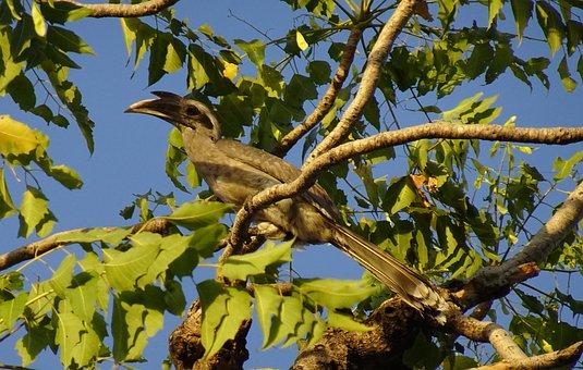 Bird, Hornbill, Indian Grey Hornbill