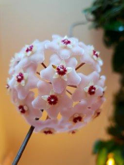 Blossom, Bloom, Globular Flower, Fleshy Flower