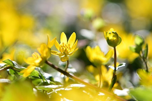 Celandine, Flower Meadow, Yellow, Bright, Spring