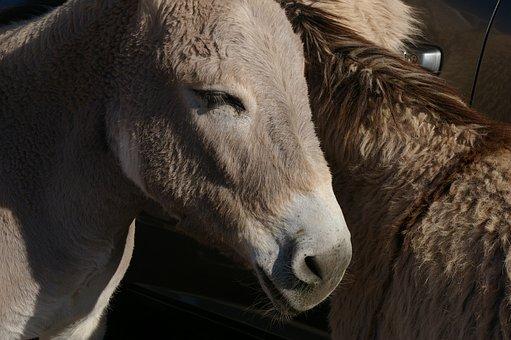 Donkey, Burro, Wild, Mule, Jackass, Stubborn, Nature