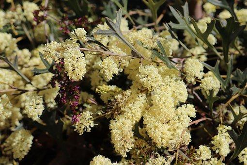 Wild Flowers, Western Australia, Flower