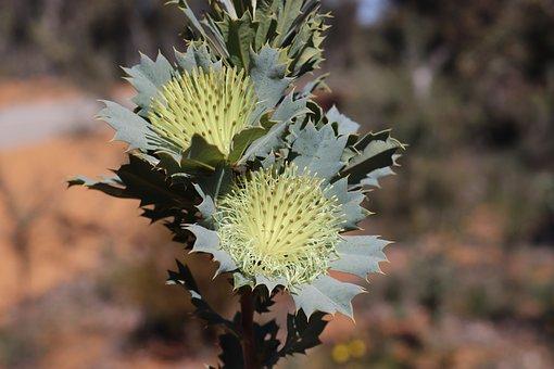 Wild Flowers, Western Australia, Flower, Wild, Flora