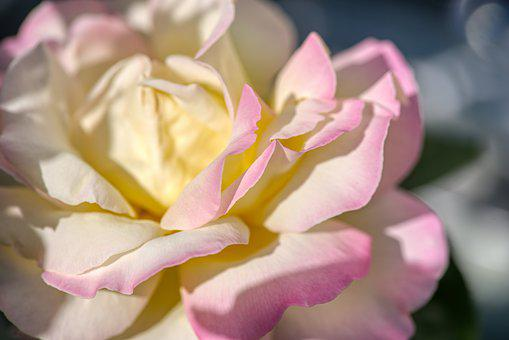 Rose, Blossom, Bloom, Petals, Yellow, Tender, Pink