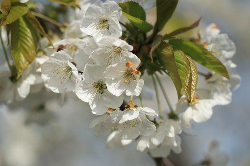 Cherry Tree, Cherry Blossom, Cherry, Blossom, Flowers