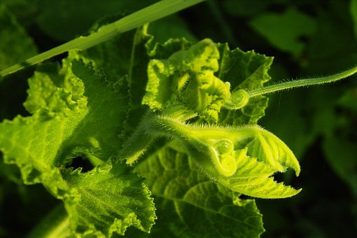Pumpkin Seedling, Plant, Growth, Green