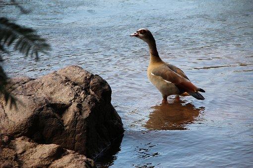 Egyptian Goose, River, Sanbonani Game Park, 2014