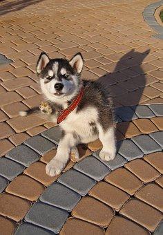 Dog, Puppy, Pet, Small, Alaskan, Malamute, Husky