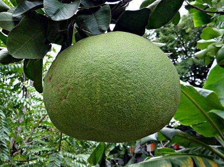 Grapefruit, Fruit, Citrus Paradisi, Citrus, Subtropical