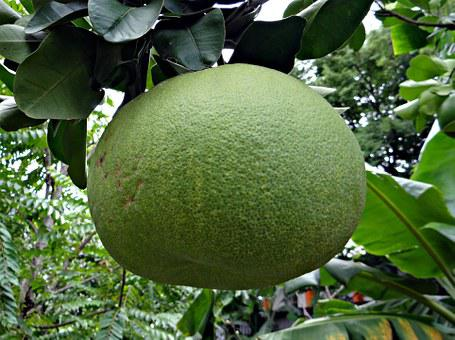 Grapefruit, Fruit, Citrus Paradisi, Citrus, Subtropical
