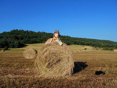 Dog, Husky, Pet, Mammal, Animal, Straw, Field