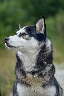 Dog, Husky, Siberian, Animal, Pet, Canine, Cute, Friend