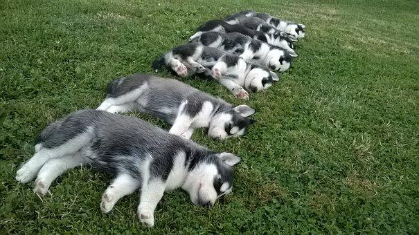 Husky, Puppies, Puppy, Dog, Cute, Siberian, Animal