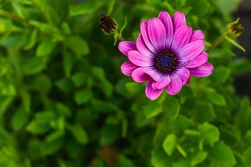 Daisy, African Daisy, Macro, Flower, Violet, Green