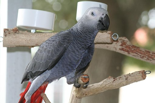 African, Grey, Male, Pet