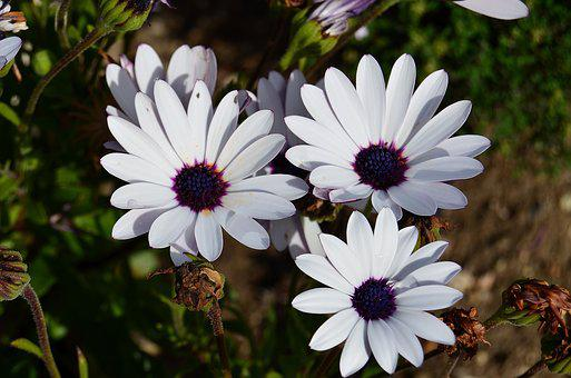 African Daisy, Flowers, Margaritas, Nature, Background