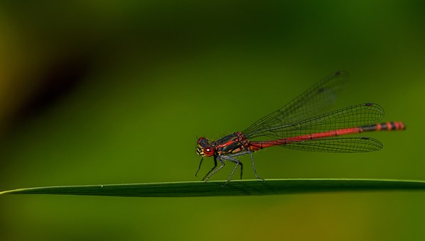 Damselfly, Insect, Macro, Nature, Wildlife, Odonata