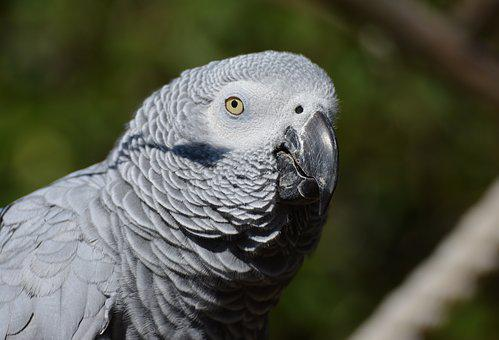 African Grey Parrot, Parrot, Bird, Plumage, Grey