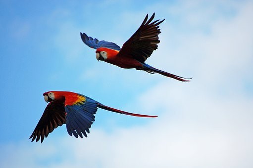 Parrots, Parrot, Pair, Flying, Red, Blue, Yellow