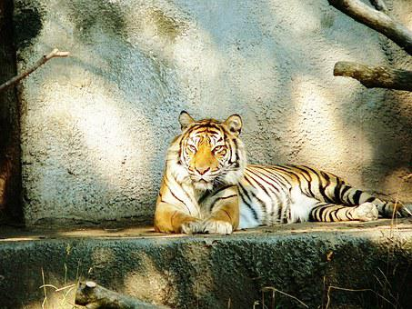 Siberian Tiger, Animal, Woodland Park Zoo, Seattle