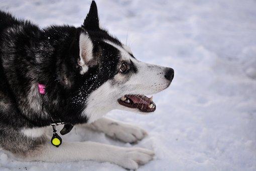 Husky, Dog, Siberian Husky, Siberian, Canine, Nature